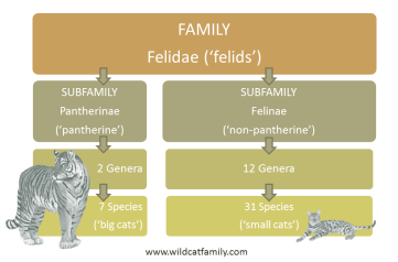 felidae-subfamilies-no-background