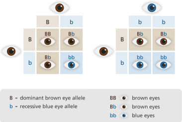 punnett_square_eyes_yourgenome.png