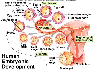 human_embryo1