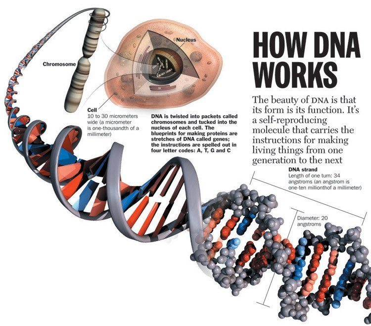 how-dna-works